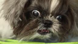 Shih Tzu dog angry.