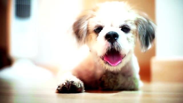 vídeos de stock, filmes e b-roll de sorriso feliz do cão de shih tzu na sala de visitas. - filhote de cachorro