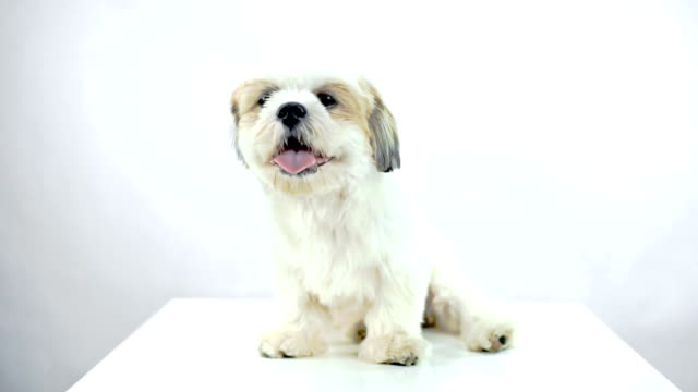 Shih Tzu dog sitting on a table while looking into the camera on white background.