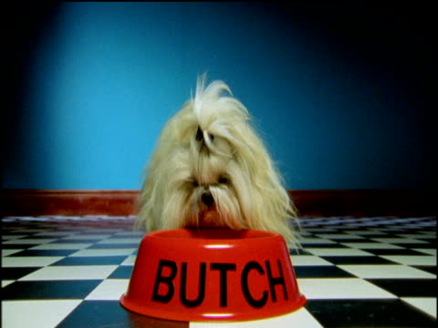 shihtzu dog eats from red food bowl marked 'butch' uk - 2000s style stock videos & royalty-free footage