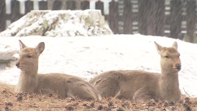 shika deer in snowy nara park, japan - doe stock videos & royalty-free footage