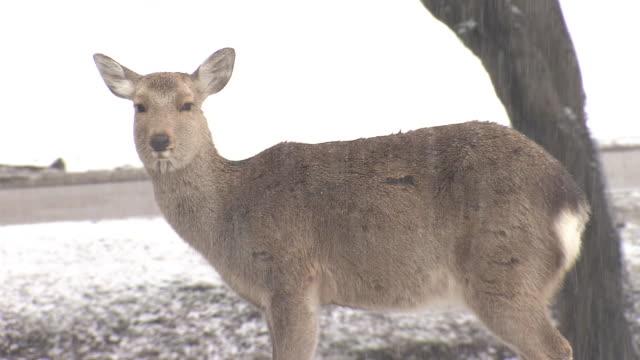 a shika deer in snowy nara park, japan - doe stock videos & royalty-free footage