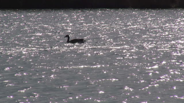 schimmernde goose-hd 1080 60i / - wasservogel stock-videos und b-roll-filmmaterial