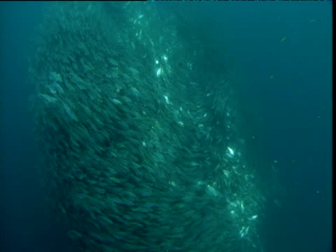 shimmering swirling bait ball, panama - bait ball stock videos & royalty-free footage