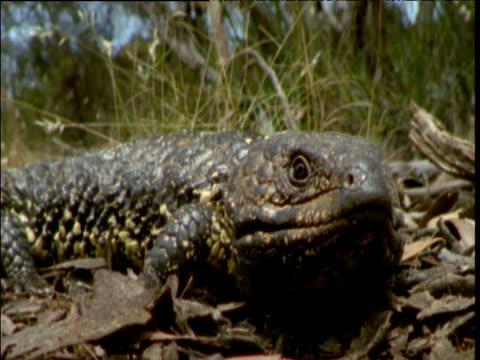 shingleback lizard basks in sun then walks away, south australia - tierhaut stock-videos und b-roll-filmmaterial