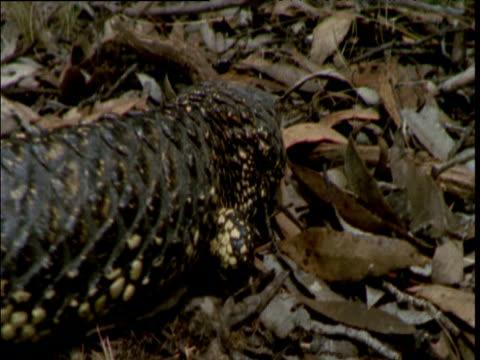 shingleback lizard crawls away over leaf litter, south australia - tierhaut stock-videos und b-roll-filmmaterial