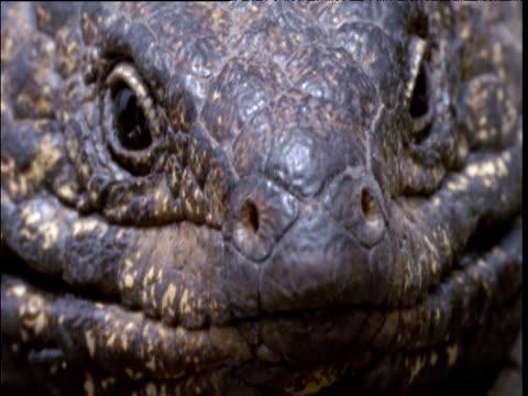shingleback lizard looks at camera and flicks out its tongue, south australia - tierhaut stock-videos und b-roll-filmmaterial