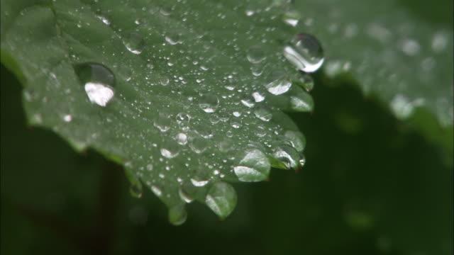 vidéos et rushes de shining dew drops in hokkaido - rosée
