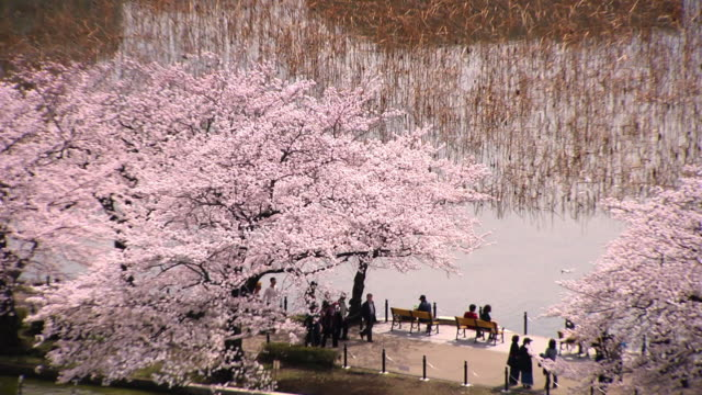 shinobazu pond with cherry blossoms, tokyo, japan - shinobazu pond stock videos and b-roll footage