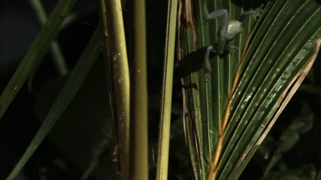 a shiny green frog falls in slow motion and lands on a palm branch. - 枝 植物部分 個影片檔及 b 捲影像
