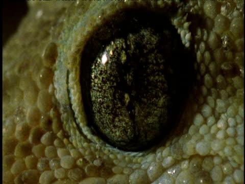 Shiny mottled brown eye of house gecko