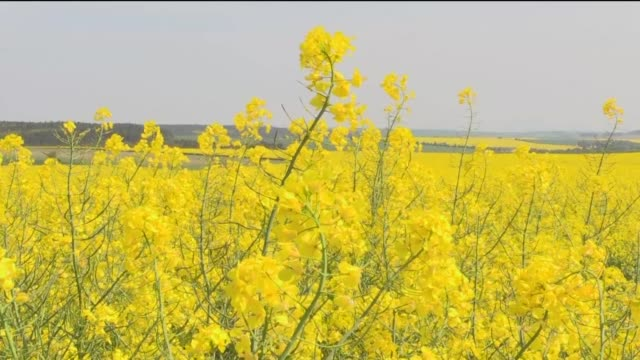 shiny yellow rapeseed plants have sprung to life in the czech republic and angry residents blame their billionaire leader for infesting the country... - skadedjursangrepp bildbanksvideor och videomaterial från bakom kulisserna