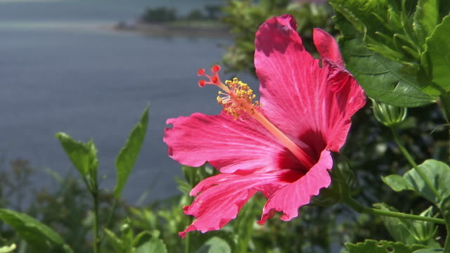 Shioya Bay With Hibiscus, Okinawa, Japan