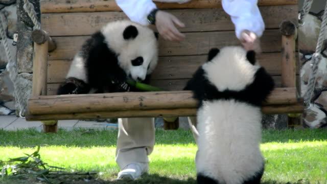 "wakayama,japan-may 8: wakayama prefecture shirahama tourist facilities ""adventure world"" in 8th, baby twin giant panda was born last december 2 as... - panda stock-videos und b-roll-filmmaterial"