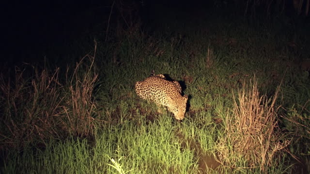 ms sho of leopard drinking at night  / kruger national park, mpumalanga, south africa - provinz mpumalanga stock-videos und b-roll-filmmaterial