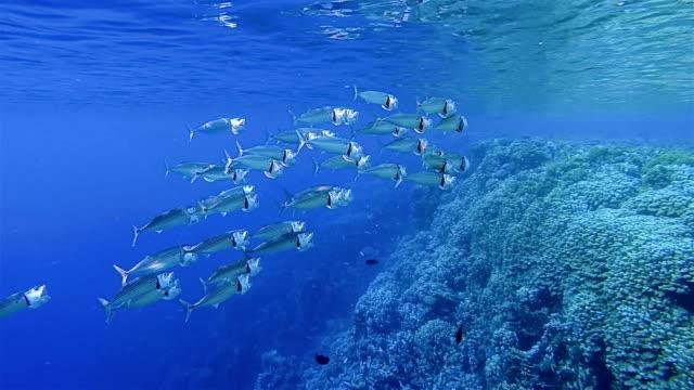 untiefe großmaul makrele, auch indische makrele (rastrelliger kanagurta) essen plankton, ägypten, rotes meer, afrika - south pacific ocean stock-videos und b-roll-filmmaterial