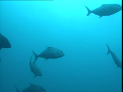 """shoal of almaco jack swims in blue ocean, durban - """"bbc natural history"""" stock videos & royalty-free footage"""