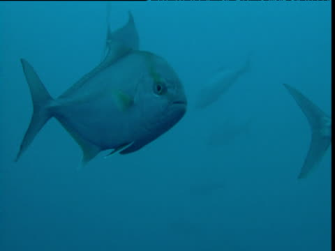 """shoal of almaco jacks swims in blue ocean, durban - """"bbc natural history"""" stock videos & royalty-free footage"""