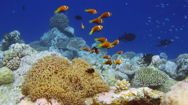Shoal of Anemonefish
