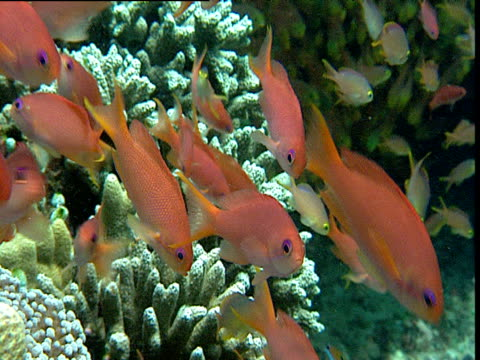 Shoal of Anthiases swim over coral reef, Sulawesi