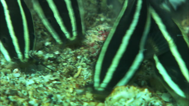 shoal of baby striped catfish (plotosus lineatus) feeds on sea bed, manado, indonesia - seabed stock videos & royalty-free footage