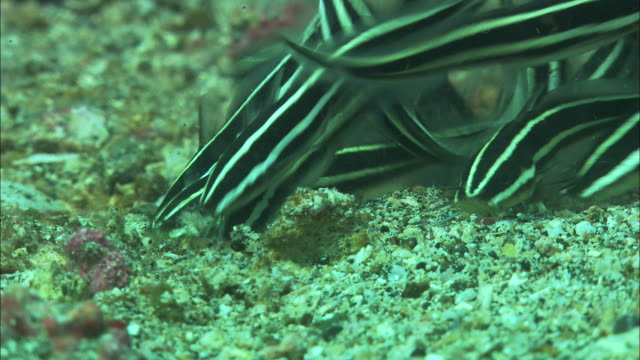 Shoal of baby striped catfish (Plotosus lineatus) feeds on sea bed, Manado, Indonesia