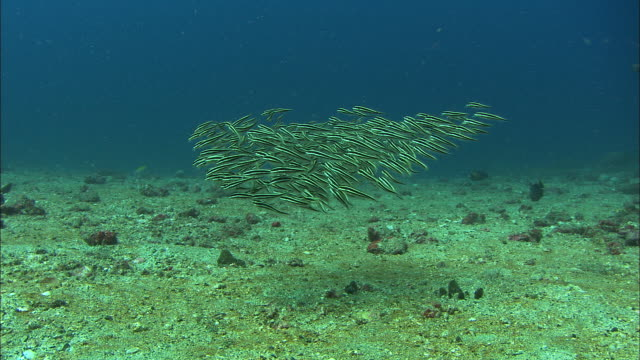 Shoal of baby striped catfish (Plotosus lineatus) swims over sea bed, Manado, Indonesia