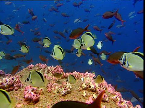 Shoal of Barberfish (Heniochus nigrirostris) and pacific creole fish (Paranthias colonus) swim against current, Galapagos