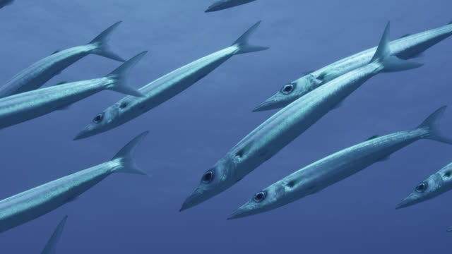 shoal of barracuda (sphyraena) swim in blue ocean, fiji - barracuda stock videos & royalty-free footage