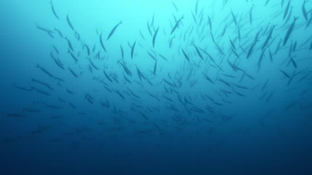 shoal of barracuda swims in blue sea, azores - atlantikinseln stock-videos und b-roll-filmmaterial