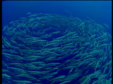 Shoal of barracudas swim in swirl underwater in turquoise blue sea
