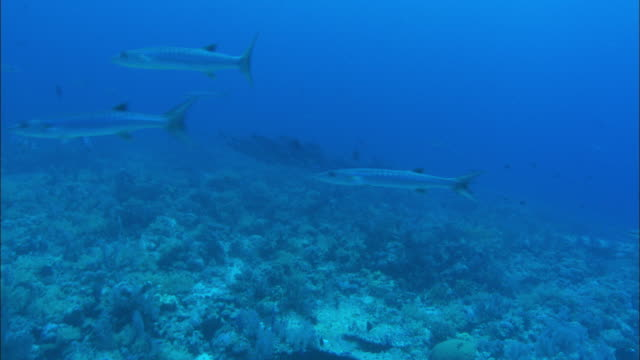 A shoal of barracudas swims above a reef. Available in HD.