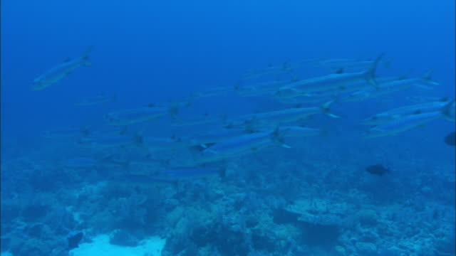 A shoal of barracudas swims through the water. Available in HD.