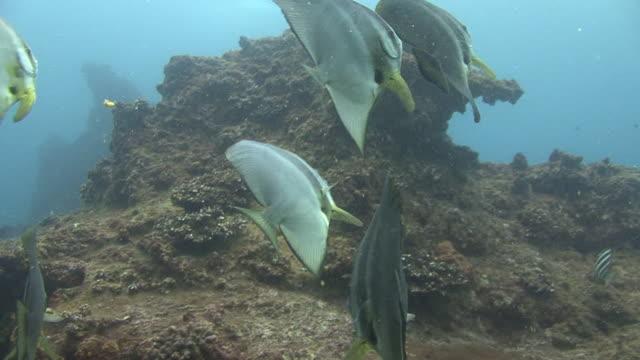 shoal of batfish - invertebrate stock videos & royalty-free footage