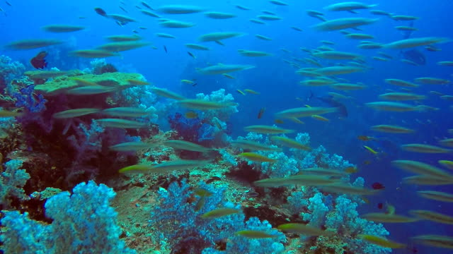 shoal of bigeye scad (selar crumenophthalmus) and anchovy fish, hin muang, andaman sea, krabi, thailand. - soft coral stock videos & royalty-free footage