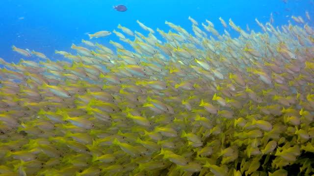 vídeos y material grabado en eventos de stock de banco de patudo pargo (lutjanus lutjanus) pescado, bida nok, mar de andamán, krabi, tailandia. - salirse de lo normal