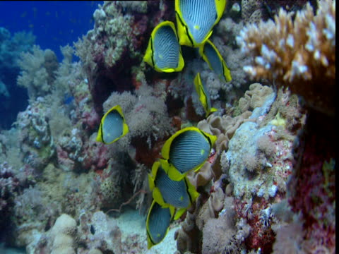 Shoal of Blackback butterflyfish eating coral