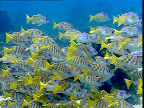Shoal of Blue striped snappers swim over coral reef, Cocos Island, Costa Rica