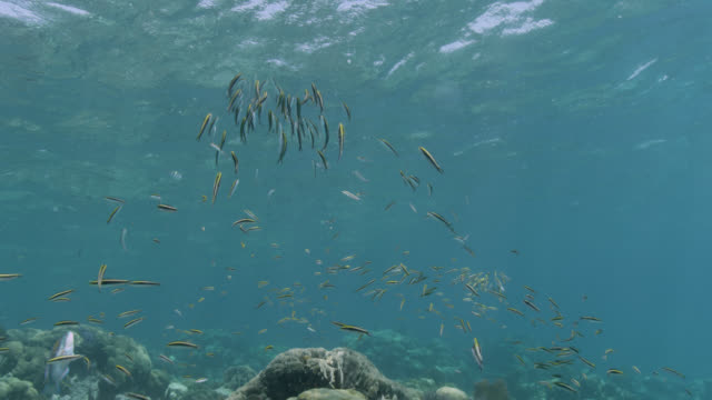 shoal of bluehead wrasse spawn on reef, belize - wrasse stock videos & royalty-free footage