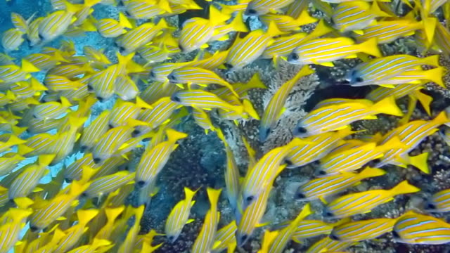 shoal of bluestripe snapper , lutjanus kasmira - tropical fish stock videos & royalty-free footage