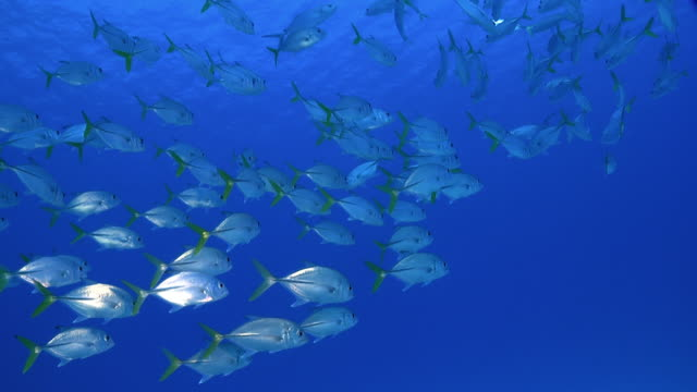 Shoal of Caribbean fish against blue open ocean