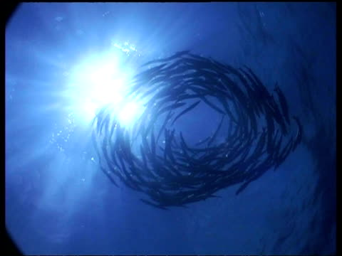 vídeos de stock e filmes b-roll de wa shoal of chevron barracuda swimming in a circle in blue sunlit water, sipadan, borneo, malaysia - cardume de peixes