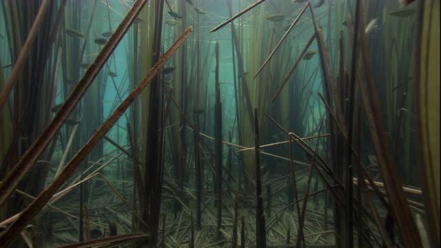 vídeos de stock, filmes e b-roll de a shoal of cichlid swim through reeds. available in hd. - caniço
