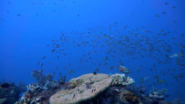 Shoal of Cleaner Wrasse (Labroides dimidiatus) being hunted by Coral Grouper (Cephalopholis miniata) on Fragile Coral Reef Ecosystem Ocean Environment.  The location is Hin Daeng Dive Site, Andaman Sea, Krabi, Thailand.