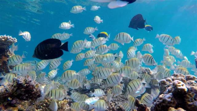 shoal of convict surgeonfish on coral reef - maldives - zebratryck bildbanksvideor och videomaterial från bakom kulisserna