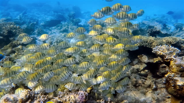 shoal of convict surgeonfish on coral reef - maldives - zebra print stock videos & royalty-free footage