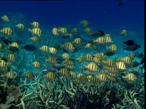 shoal of convict tangs swims over reef, tonga - surgeonfish stock videos and b-roll footage