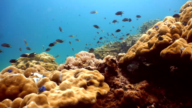 Shoal of Damselfish (Pomacentrus moluccensis) on Fragile Coral Reef Ecosystem Ocean Environment.  Using the reef as protection from predators at Koh Haa Islands, Krabi, Andaman Sea, Thailand.