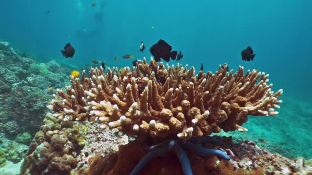 Shoal of Damselfish (Dascyllus trimaculatus) on Fragile Staghorn Coral (Acropora)