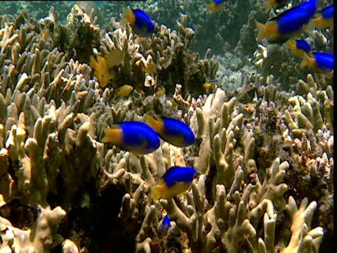 Shoal of electric blue caerulean damselfish swim over reef, Sulawesi
